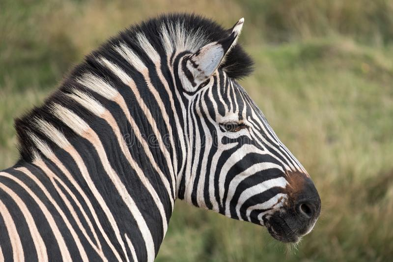 Side view of head of black and white striped zebra, photographed at Port Lympne Safari Park, Ashford, Kent UK. Side view of head of black and white striped stock photo