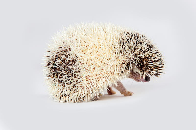 Side View of Hedgehog stock photography
