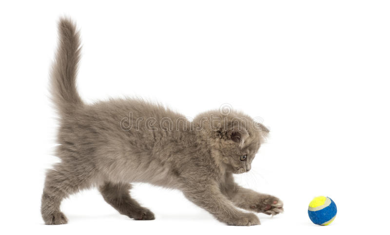 Side view of an Highland fold kitten playing with a ball royalty free stock photos