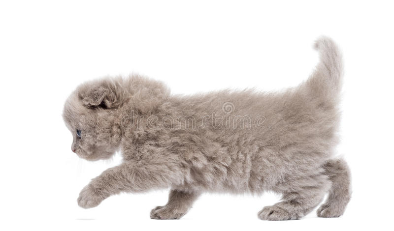 Side View Of A Highland Fold Kitten Walking, Isolated Stock Photography