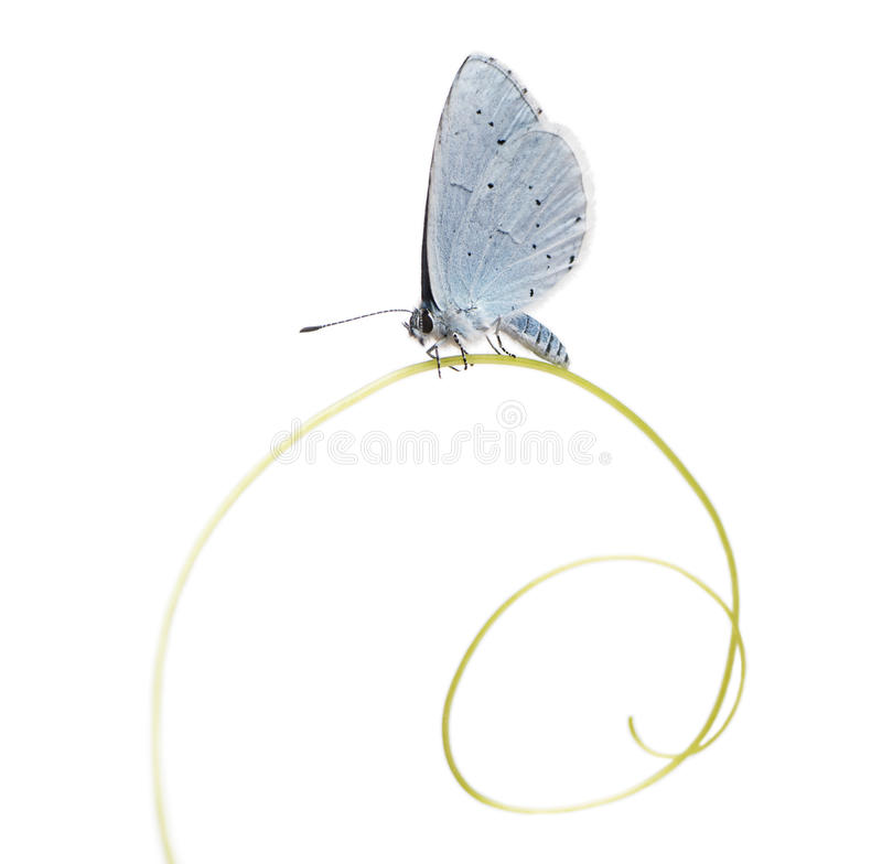 Download Side View Of A Holly Blue Landed On A Plant Stalk Stock Image - Image of insect, wild: 36783511