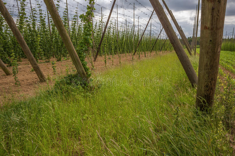 Side view of a hop yard stock image