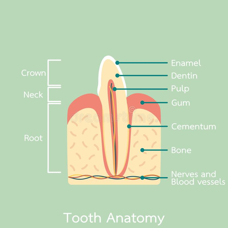 Side view of incisor tooth anatomy structure including the bone and gum and detail word. Dental cartoon vector flat style cute character for design royalty free illustration