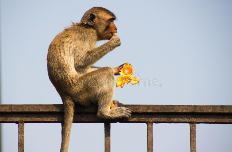Side view of isolated monkey crab eating macaque, Macaca fascicularis sitting on a fence eating a tangerine in Lopburi, Thailand stock image