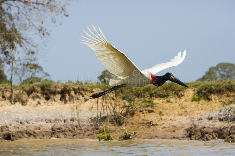 Side View of a Jabiru Stork in Flight near Riverbank. With a clear blue sky and a muddy riverbank with bushes in the background, this white, black and red large stock image
