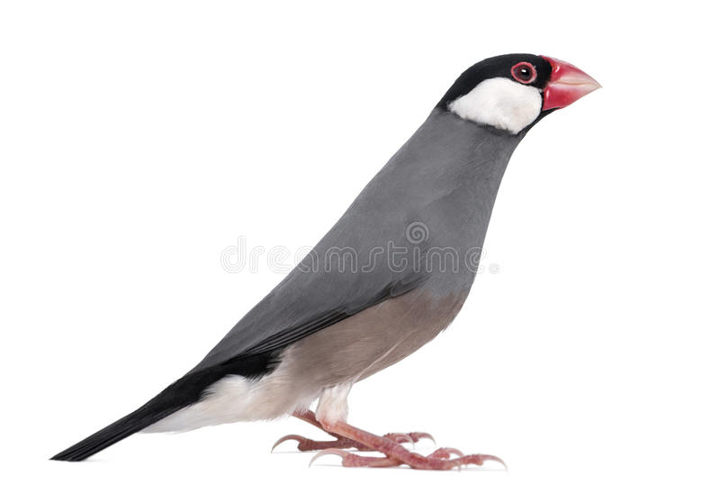 Side View Of A Java Sparrow - Padda Oryzivora Stock Photos