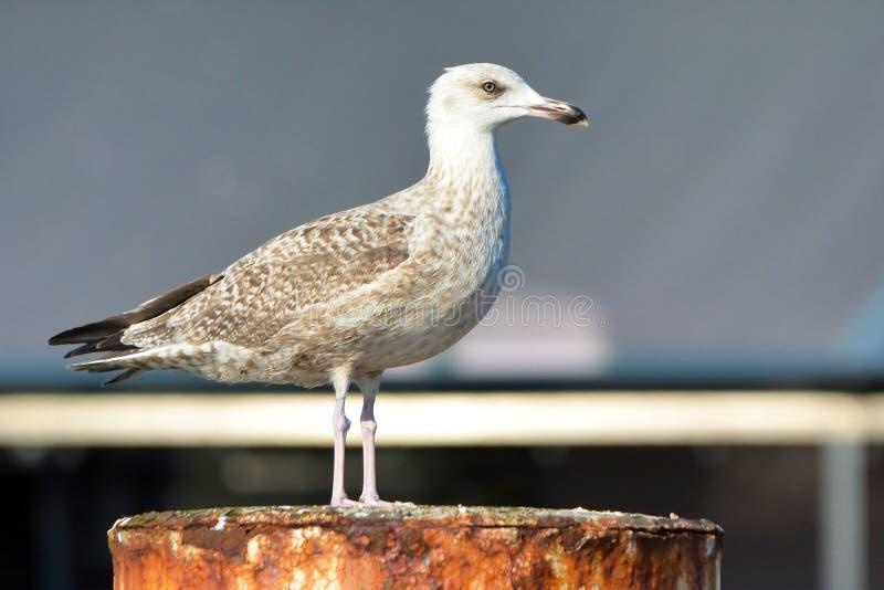 Juvenile European `Larus Argentatus` herring gull standing on rusty pole. Side view of juvenile European `Larus Argentatus` herring gull standing on rusty pole stock photos