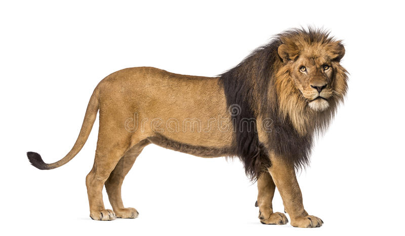 Side view of a Lion standing, looking at the camera. Panthera Leo, 10 years old, isolated on white stock image