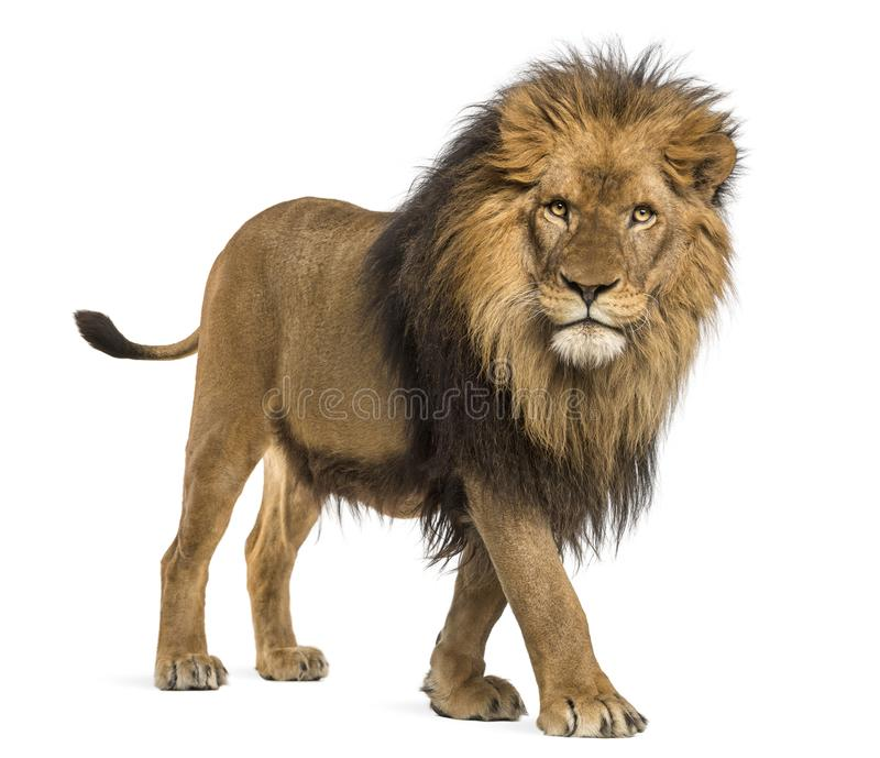 Side view of a Lion walking, looking at the camera, Panthera Leo. 10 years old, isolated on white stock photography