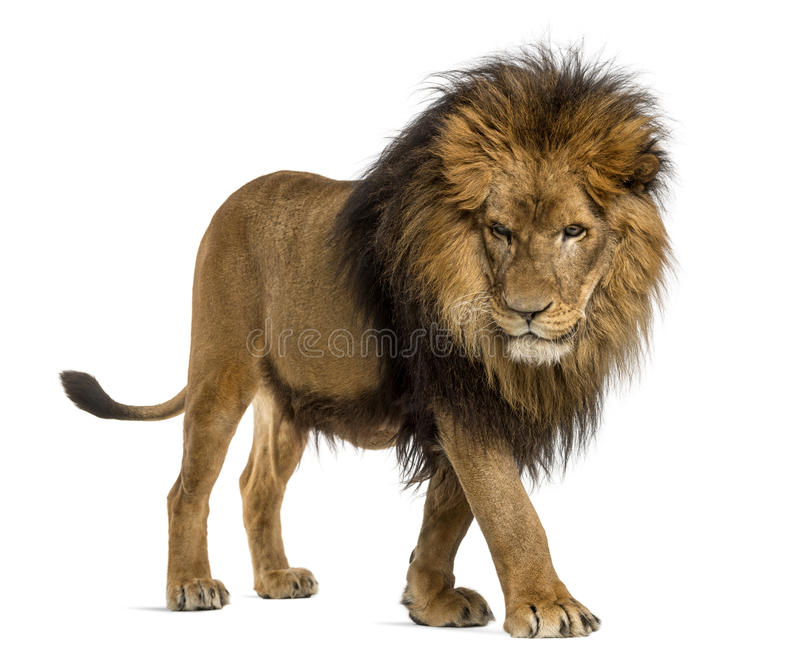 Side view of a Lion walking, looking down, Panthera Leo, 10 years old. Isolated on white royalty free stock images
