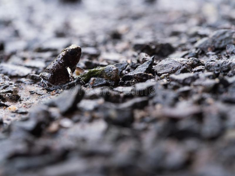 Side View of The Little Bullfrog Sitting on The Stone Ground royalty free stock photos
