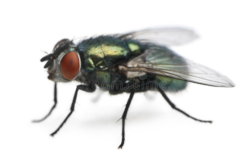Download Side View Of Lucilia Caesar, Blow-fly Stock Image - Image: 13665181