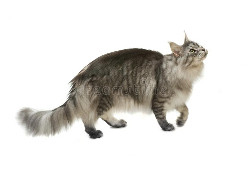 Side view of a maine coon cat walking and looking up stock photos