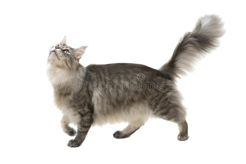 Side view of a maine coon cat walking and looking up stock image