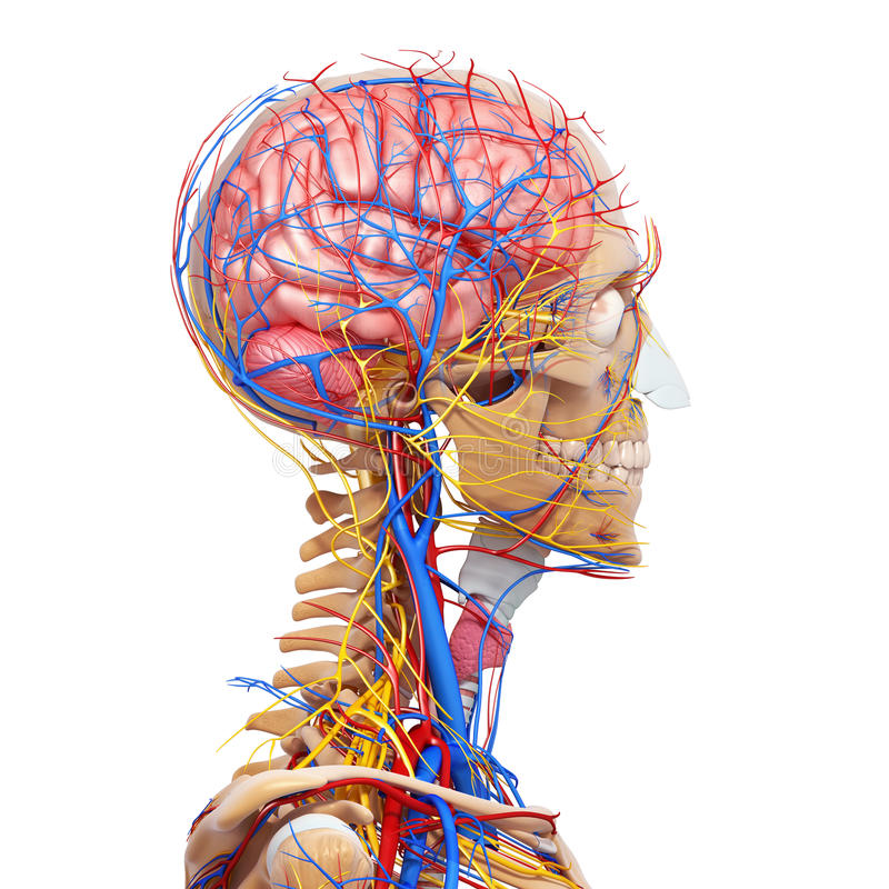 Side view of male head circulatory system stock illustration