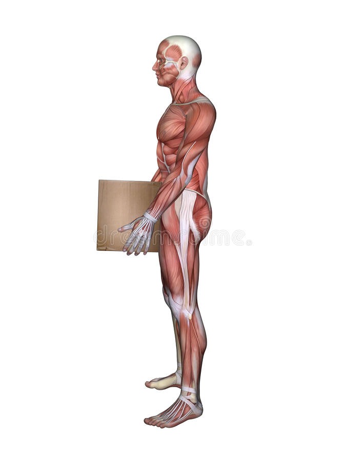 Side View Of Male Muscle Anatomy And Holding Box Stock Illustration