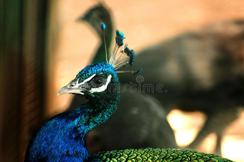 Side view of Male Peacock. Closeup shot at VOC Park in Coimbatore stock images