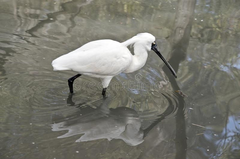 Male Royal spoonbill stock images
