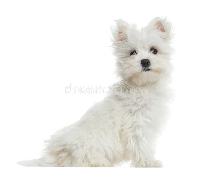Side view of Maltese puppy sitting, looking at the camera royalty free stock image