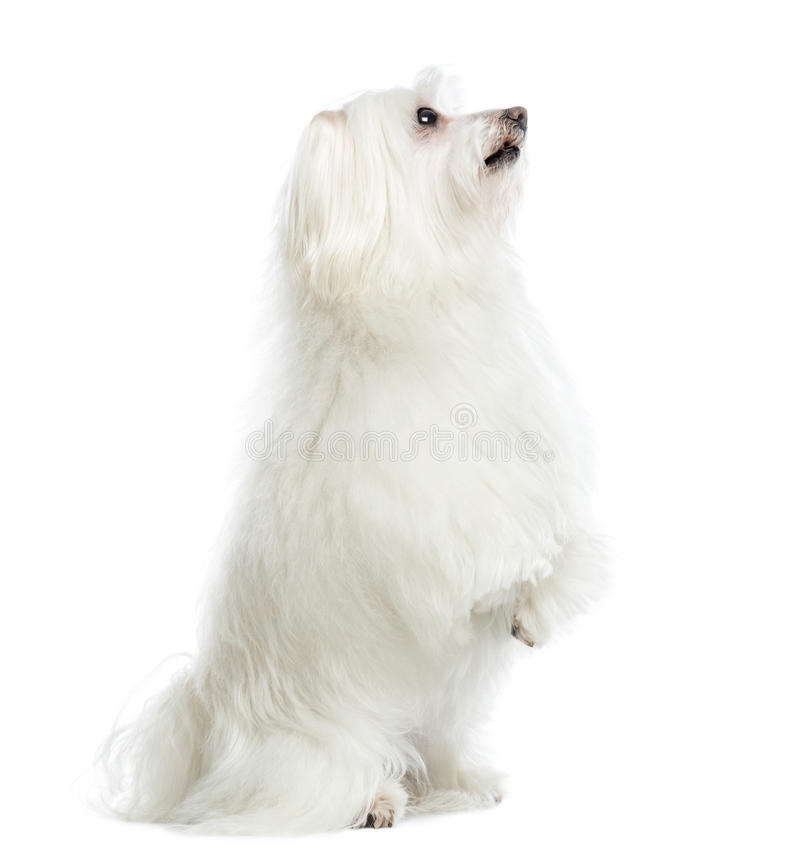 Side View Of A Maltese Upright, Isolated Royalty Free Stock Image