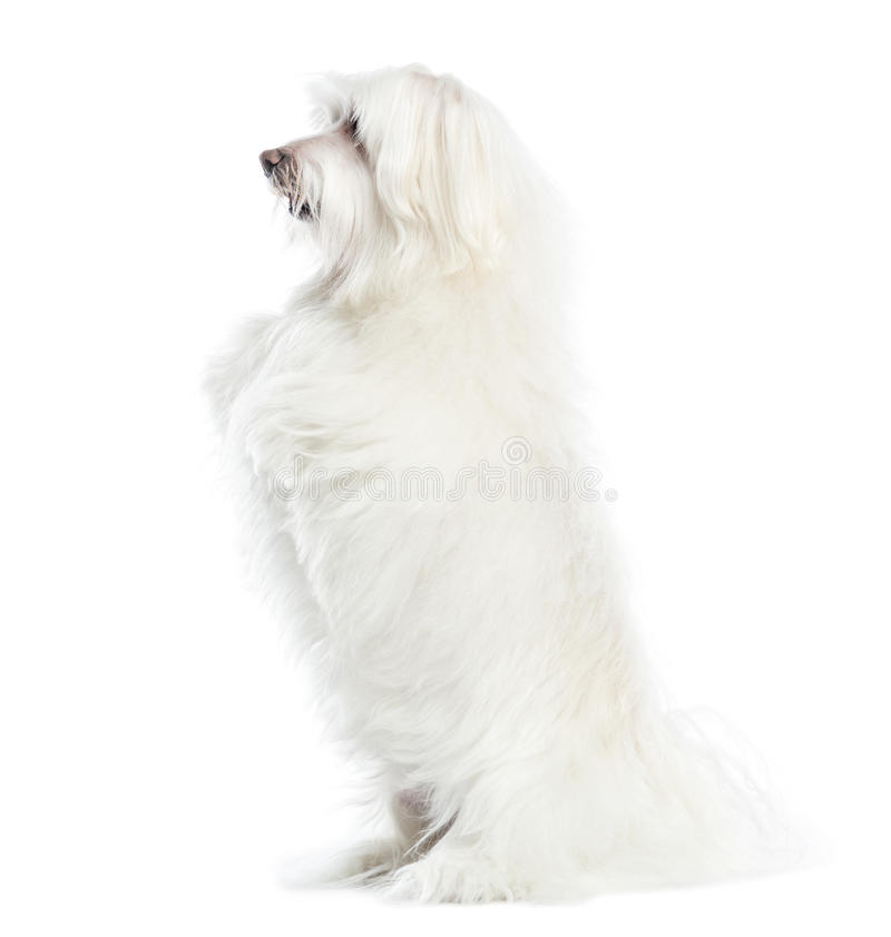 Side view of a Maltese upright, isolated. On white royalty free stock photos