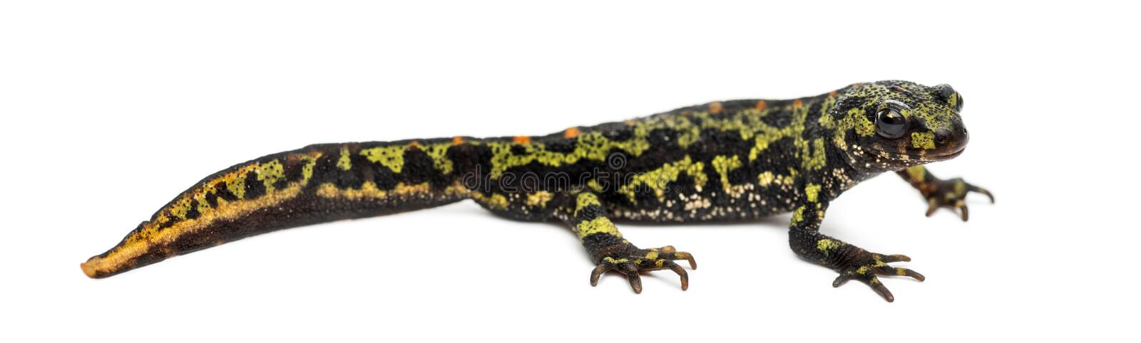 Side view of a Marbled newt, Triturus marmoratus royalty free stock image