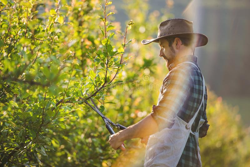 A mature farmer with scissors standing outdoors in orchard, trimming trees. royalty free stock image