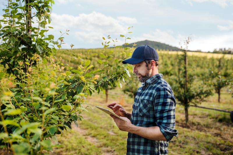 A side view of mature farmer with tablet standing outdoors in orchard. stock photo