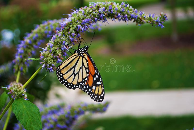 Side view of a Monarch butterfly with a broken wing on a blue Veronica flower stock photography