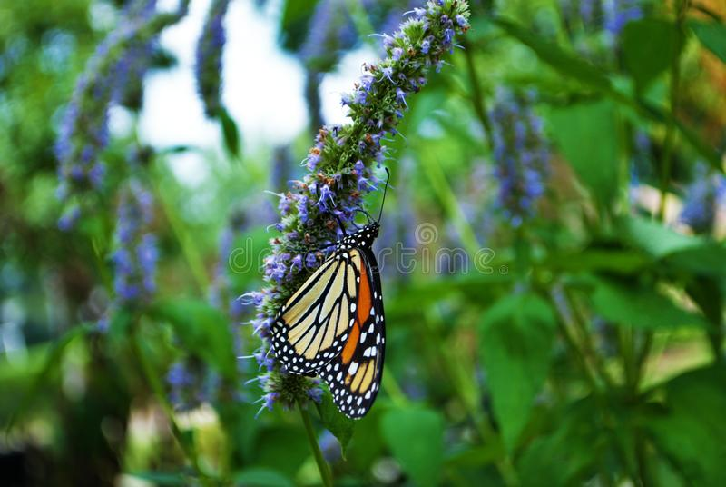 Side view of a Monarch butterfly with a broken wing on a blue Veronica flower stock photos