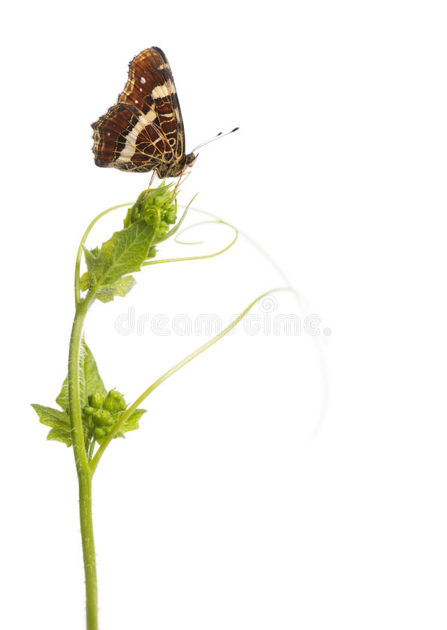 Free Side View Of A Map Butterfly Landed On A Wild Plant Royalty Free Stock Photos - 36783538