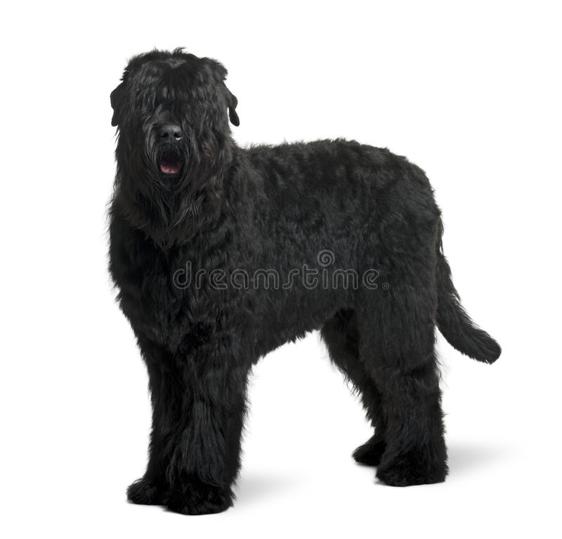 Free Side View Of Black Russian Terrier, Standing Stock Images - 12911904