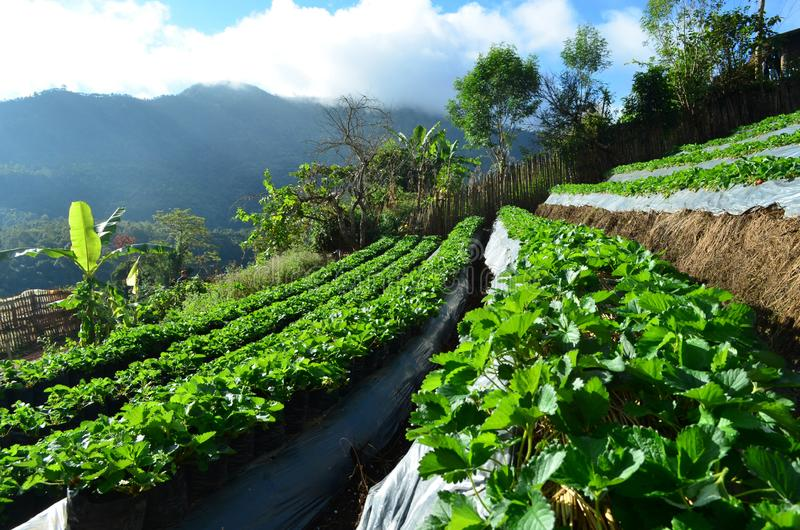 Side view of organic strawberry plantation on step of mountain, agriculture and food concept stock photo