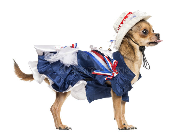 Side view of a Patriotic Chihuahua standing, sticking the tongue out stock photography