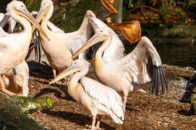 Side view on pelican bird near river. Side view on brown bird with long beak and thick round body walking near little river and tree trunk in sunlight stock photo