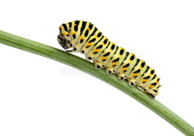 Side view of pest green caterpillar isolated on royalty free stock images
