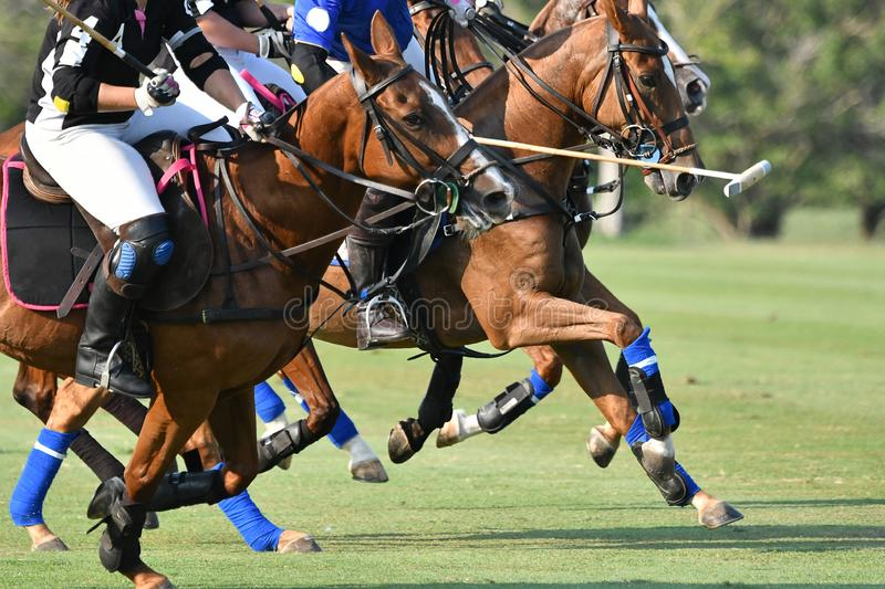 Side view picture of the Horse Polo stock photography