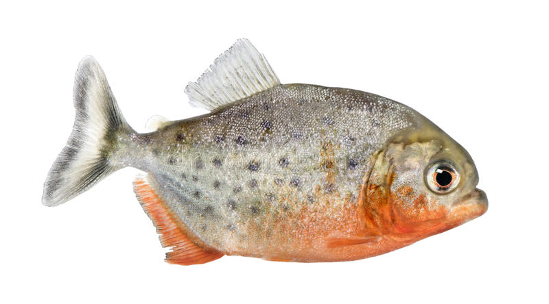 Side view on a Piranha fish. Serrasalmus nattereri in front of a white background royalty free stock image