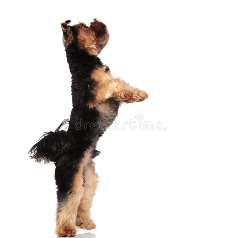 Side view of playful yorkie standing on back paws royalty free stock photos