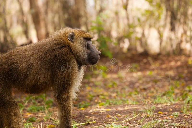 Side view portrait of adult Olive baboon. Staring ahead in African woodland royalty free stock images