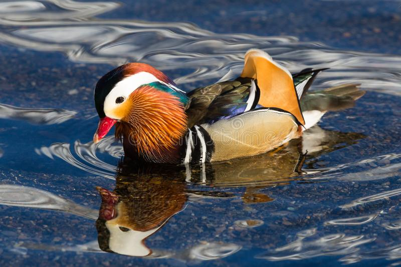 Side view portrait colorful mandarin duck aix galericulata in water stock photography