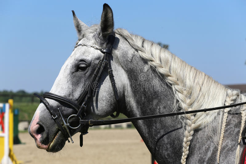 Side view portrait of grey horse with nice braided mane against. Head of a jumping horse in dressage. Braided mane for dressage. Braiding provides an royalty free stock photography