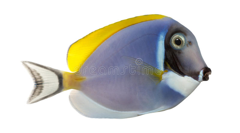 Side view of a Powder blue tang, Acanthurus leucosternon. Isolated on white stock photo