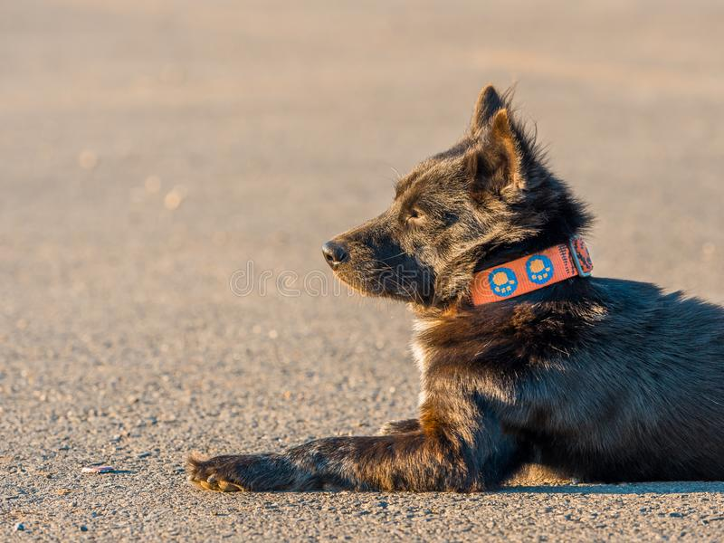 side view from puppy black dog with pink dog collar sit and relax on ground with soft focus background stock image