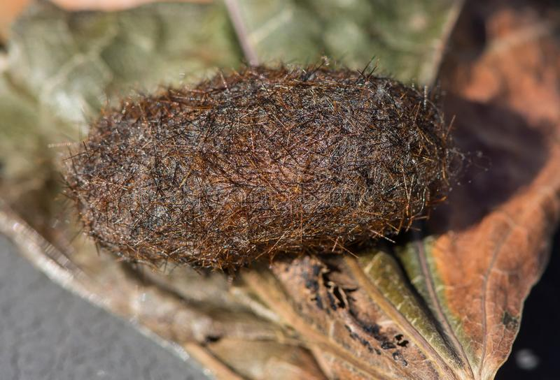 Close up view of a isabella tiger moth or woolly bear caterpillar cocoon on a dry leaf. Side view of a Pyrrharctia isabella, or woolly bear caterpillar cocoon stock images