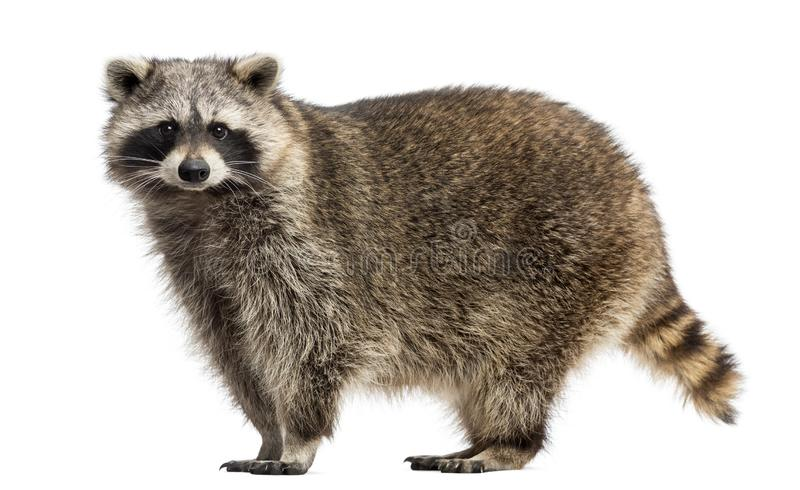 Side view of a Racoon, Procyon Iotor, standing. Isolated on white royalty free stock photography