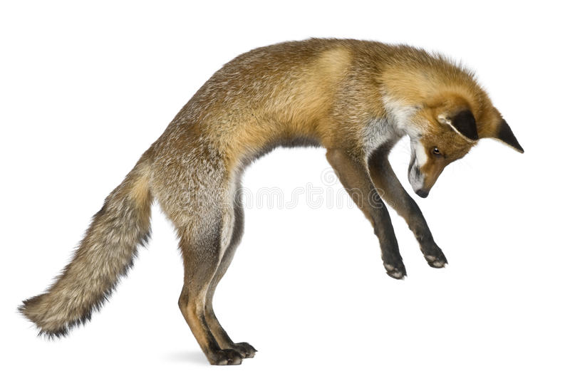 Side view of Red Fox, 1 year old royalty free stock image