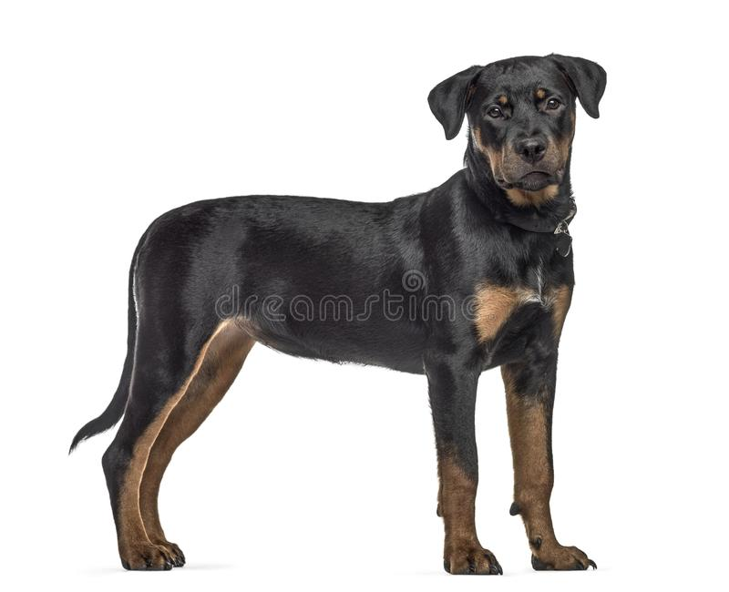 Side view of a rottweiler dog, standing, isolated stock image