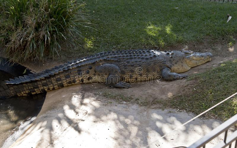 Salt water crocodile. This is a side view of a salt water crocodile stock images