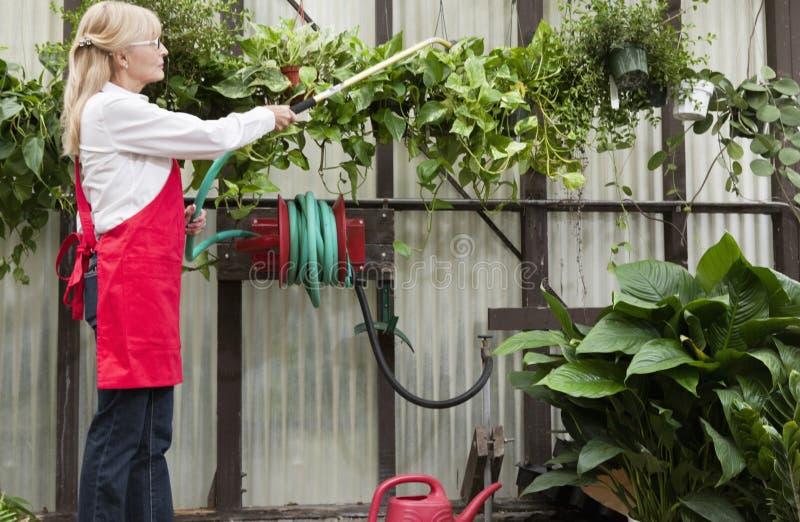 Side view of senior female gardener spraying pesticide on plants in garden center stock photography